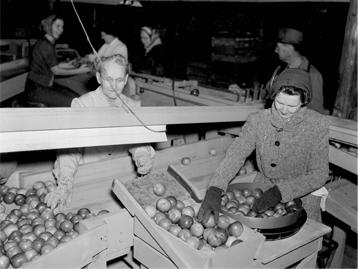 women organizing apples
